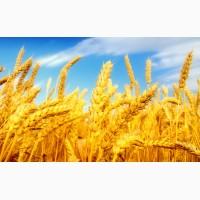 Озимая пшеница нового урожая 4 класс - производитель(Пензенская область)