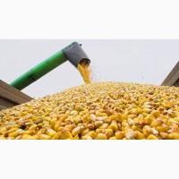 Кукуруза фуражная урожай 2018 года