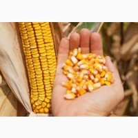 Семена кукурузы от производителя