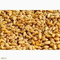 Семена Озимой пшеницы Краснодарской селекции
