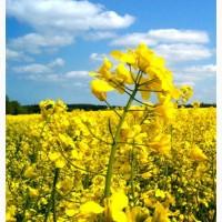 Семена рапса ярового Надежный 92 (ЭС)