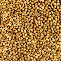 Продам семена кориандра Янтарь