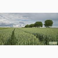 Семена Озимой пшеницы Собербаш