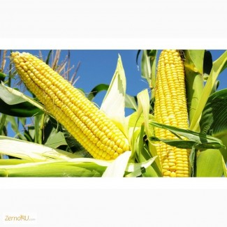 Семена кукурузы Делитоп (ФАО 210), Фалькон (ФАО 190), НК Нерисса (ФАО 200) от Сингента