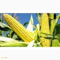 Pioneer ПР37Н01 / PR37N01 (ФАО 390) cреднеспелый, простой гибрид кукурузы