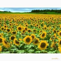 Продам семена подсолнечника и кормавых трав