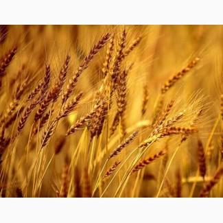 ООО НПП «Зарайские семена» закупает семена ржи многолетней