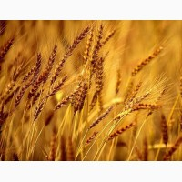 ООО НПП «Зарайские семена»закупает семена:рожь многолетняя от 20 тонн