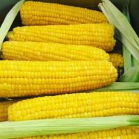 Гибриды семена кукурузы ДКС 4014 Монсанта, Monsanto