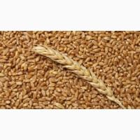 Фураж пшеница. ГОСТ. Мягкая