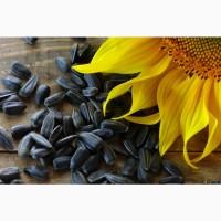 Продам семена подсолнечника кондитерского Мартин РС1