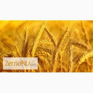 Твердая пшеница в Петропавловске, Казахстан