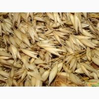 Семена овса. Овес яровой Рысак, репродукция-элита