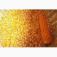 Семена кукурузы Краснодарская 291