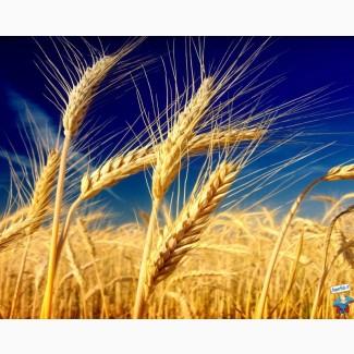 Пшеница 3, 4, 5 класса прод., фуражная