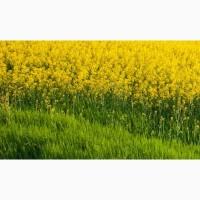 Семена рапса ярового Ритм (РС-2)