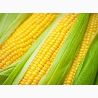 Гибриды семена кукурузы Фалькон (Сингента, Syngenta) ФАО190