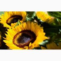 Семена подсолнечника Сингента Неома под евролайтинг - 100% под урожай