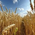 Продажа пшеницы 3 класса