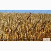 Продам: Cемена пшеницы. Цены и прайсы внутри