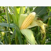 Гибриды семена кукурузы Делитоп (Сингента, Syngenta) ФАО210