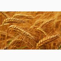 Семена пшеницы. Пшеница яровая мягкая Саратовская-68, репродукция-суперэлита