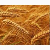 Продам зерновые пшеница