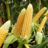 Гибриды семена кукурузы НК Нерисса (Сингента, Syngenta)