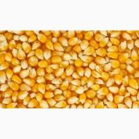 Закупаем Кукурузу фуражную в больших объёмах