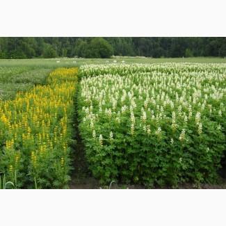 ООО НПП «Зарайские семена» продает семена люпина оптом