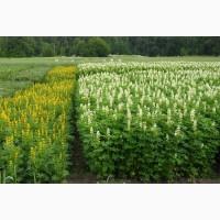 ООО НПП «Зарайские семена» продает семена оптом люпина