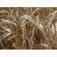 Куплю оптом пшеницу 3, 4, 5 класса на FOB Новороссийск и Астрахань