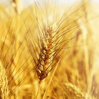 Пшеница яровая Экада 70 - семена