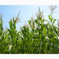 Продаю семена кукурузы Донская Высокорослая ЭС