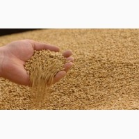 Пшеница 1 класса продовольственная