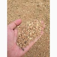 Продаю пшеницу фураж
