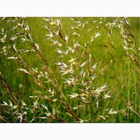 ООО НПП «Зарайские семена» закупает семена фестулолиума