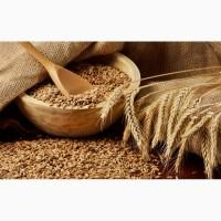 Пшеница яровая Черноземноуральская 2 - семена