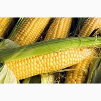 Продаю семена кукурузы Лучистая