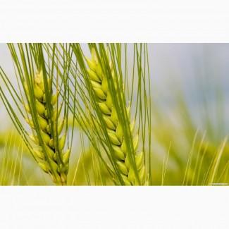 Пшеница яровая Фаворит - семена