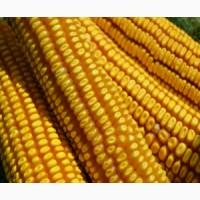 Продаю семена кукурузы сорт РОСС 199 МВ