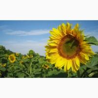 Гибриды семена подсолнечника ЛГ5654, ЛГ5663, ЛГ5463 (Лимагрейн, Limagrain) (Clearfield)