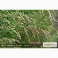 Продам: Семена овсяницы тросниковой Лосинка