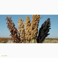 Семена сорго: Лучистое, Зерноградское 88, Дебют