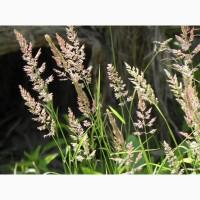 ООО НПП «Зарайские семена» закупает семена мятлика лугового