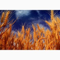 Продам пшеницу