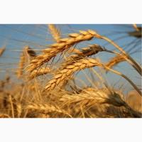 Семена пшеницы озимой урожая 2019 года