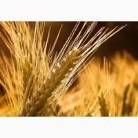 Семена пшеницы яровой Новосибирская 18 (ЭС, РС1)