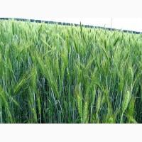 Продажа Семян тритикале озимой урожая 2019