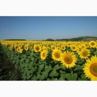 Гибриды семена подсолнечника Санай МР (Сингента, Syngenta) (Clearfield)